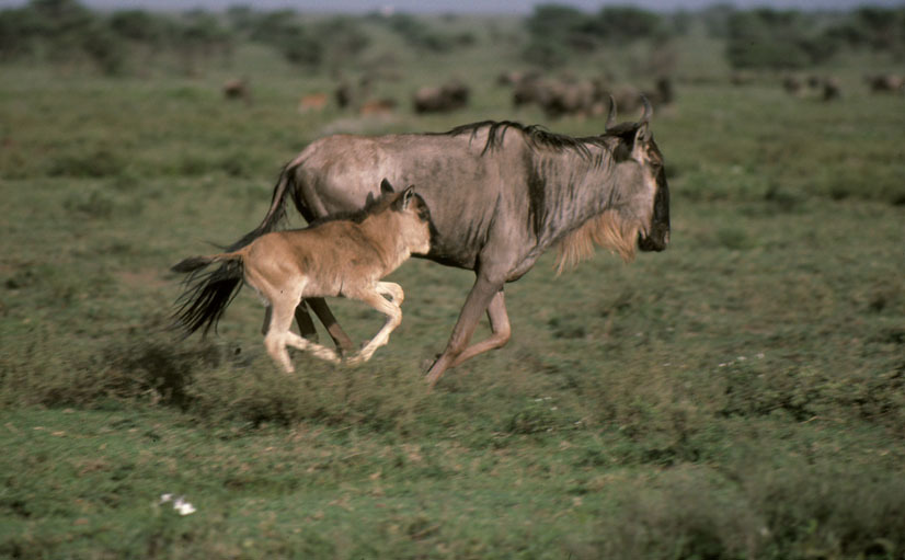 Western white-bearded wildebeest in Tanzania. Photo (c) Frederick J. Weyerhaeuser WWF-Canon.