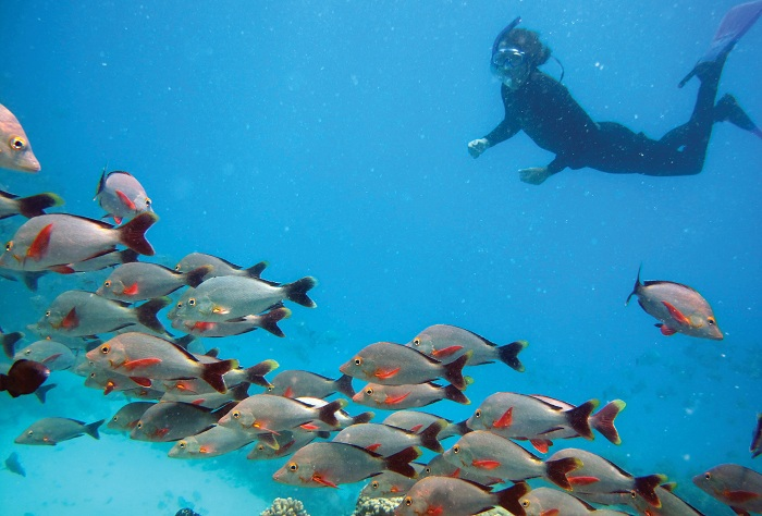 snorkeling among Paddle-tailed snapper, Rangiroa Atoll, Tuamotu Islands, French Polynesia