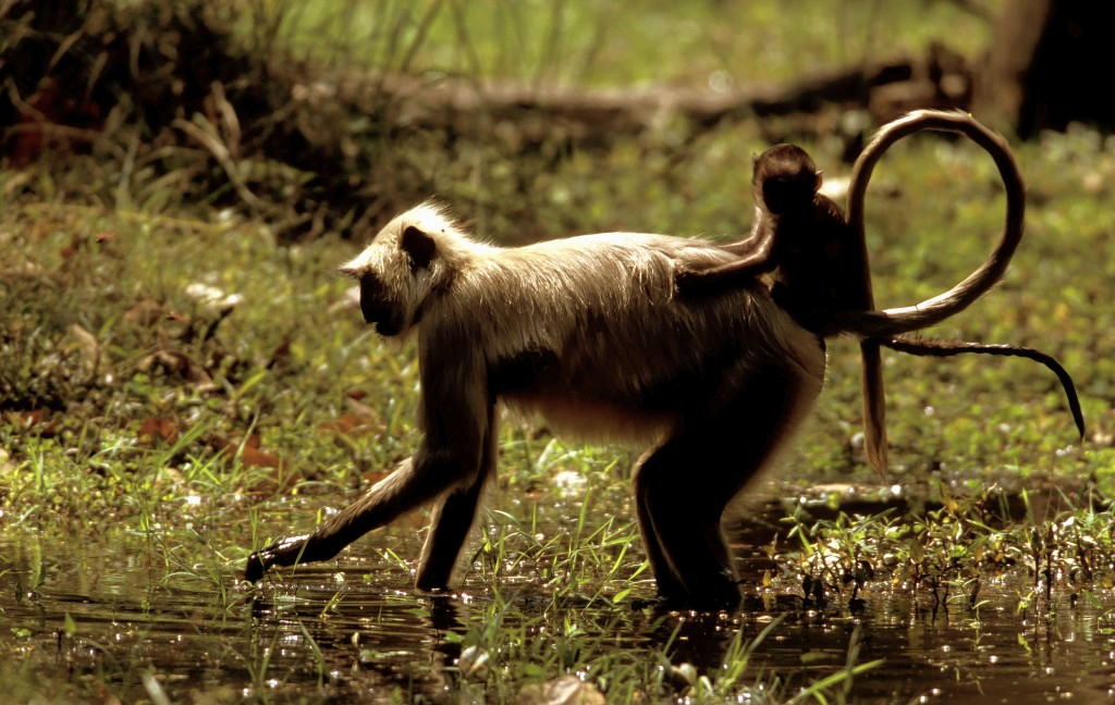 Common gray langur mother foraging for grass with young on her back in Bandhavgarh National Park, India. R. Isotti & A. Cambone-Homo Ambiens/WWF-Canon