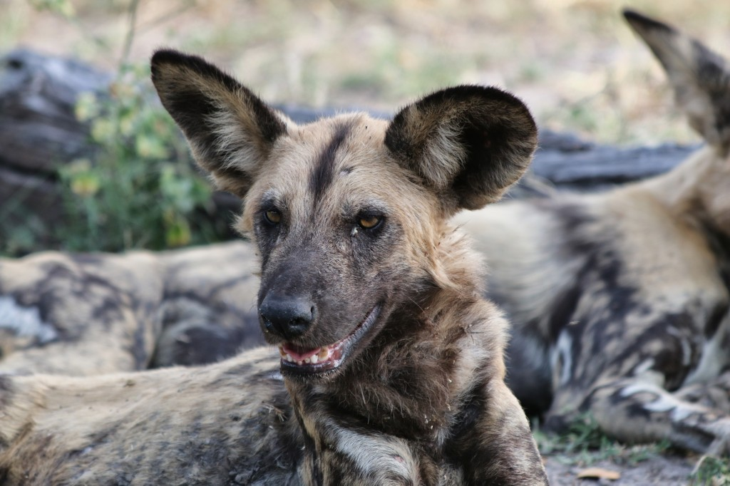 African wild dog photo, Savuti Camp, African Safari
