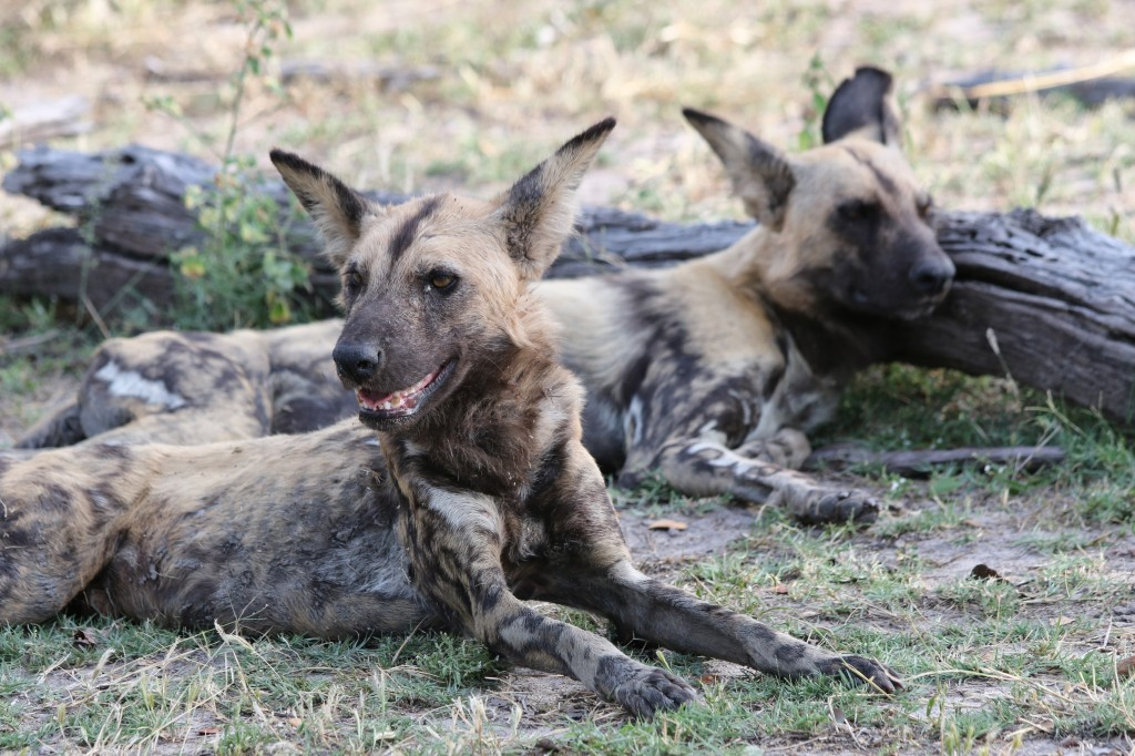 two african dogs lying around, photographed during African safari