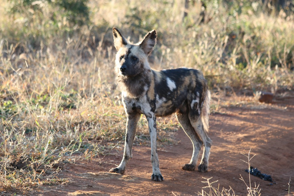 African wild dog in Botswana