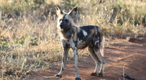 Protected: Wild Dogs: A Rare Encounter in Botswana