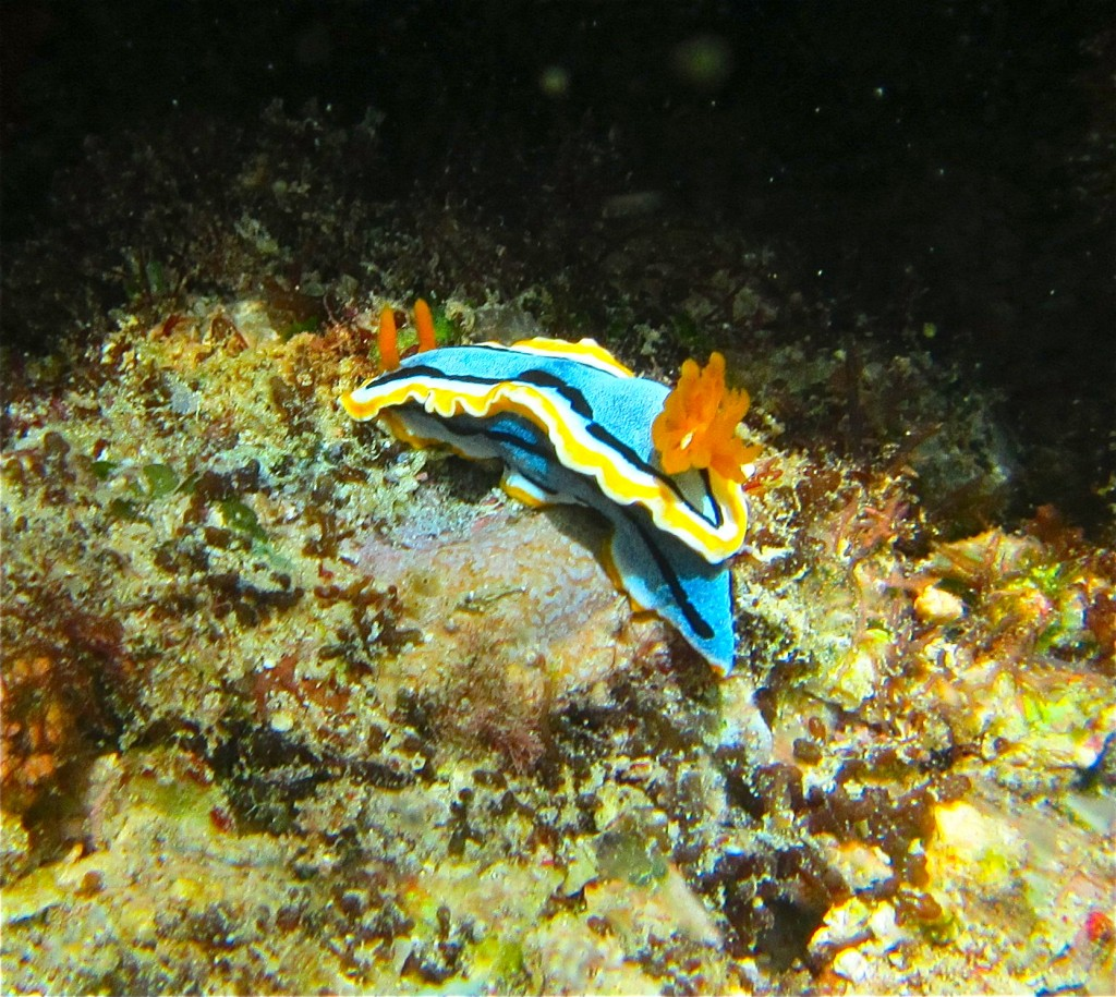 The colorful nudibranch is a shell-less mollusk that lives at the bottom of shallow ocean waters. © John Lewis and Jo DeWeese