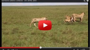 Video: Saving an African Lion