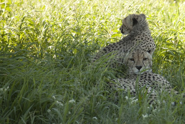 picture of cheetahs resting in the shade