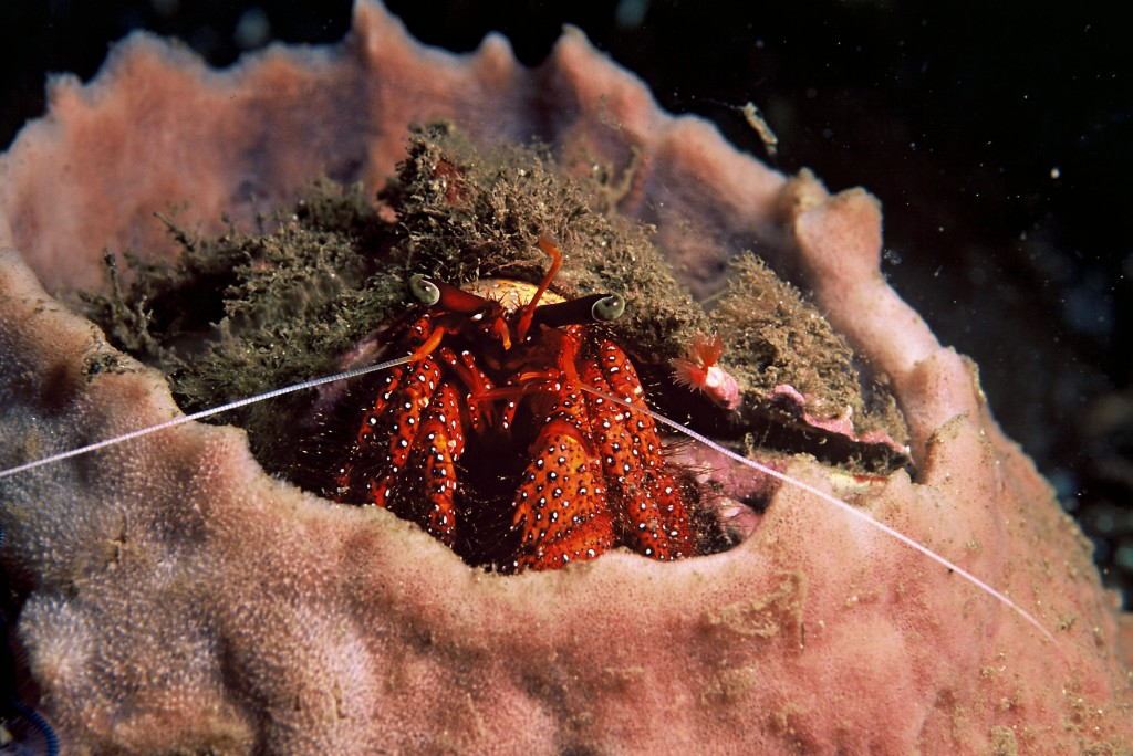 Hermit crab in a sponge in Papua New Guinea © Cat Holloway/WWF-Canon
