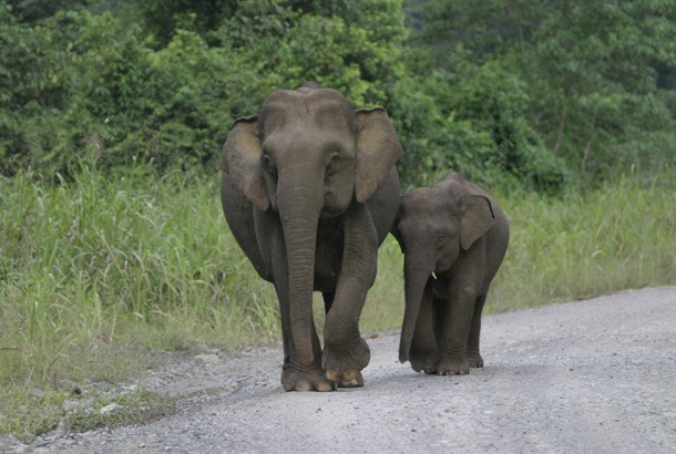picture of pygmy elephants in Borneo