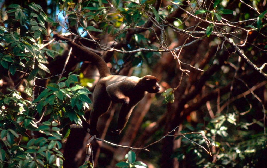 Spider monkey in the treetops of Brazil © Edward Parker/WWF-Canon