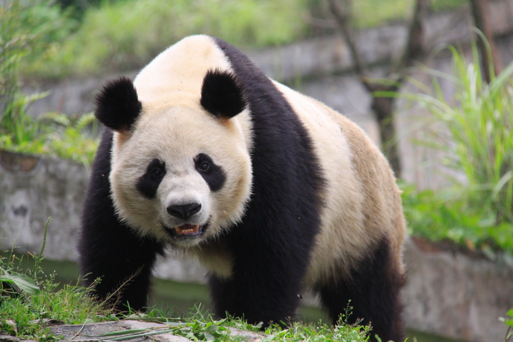 dominant panda standing with noticeable back hump, Asia, China