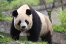 More Pandas on New China Itinerary