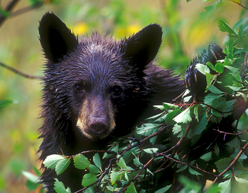 We think of black bears as formidable but mostly benign. ©Henry H. Holdsworth
