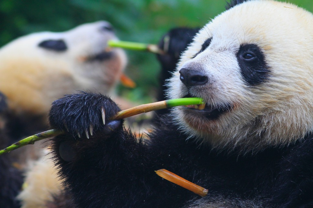 pandas eating vibrant green bamboo, China, Asia