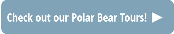 Check out our polar bear tours