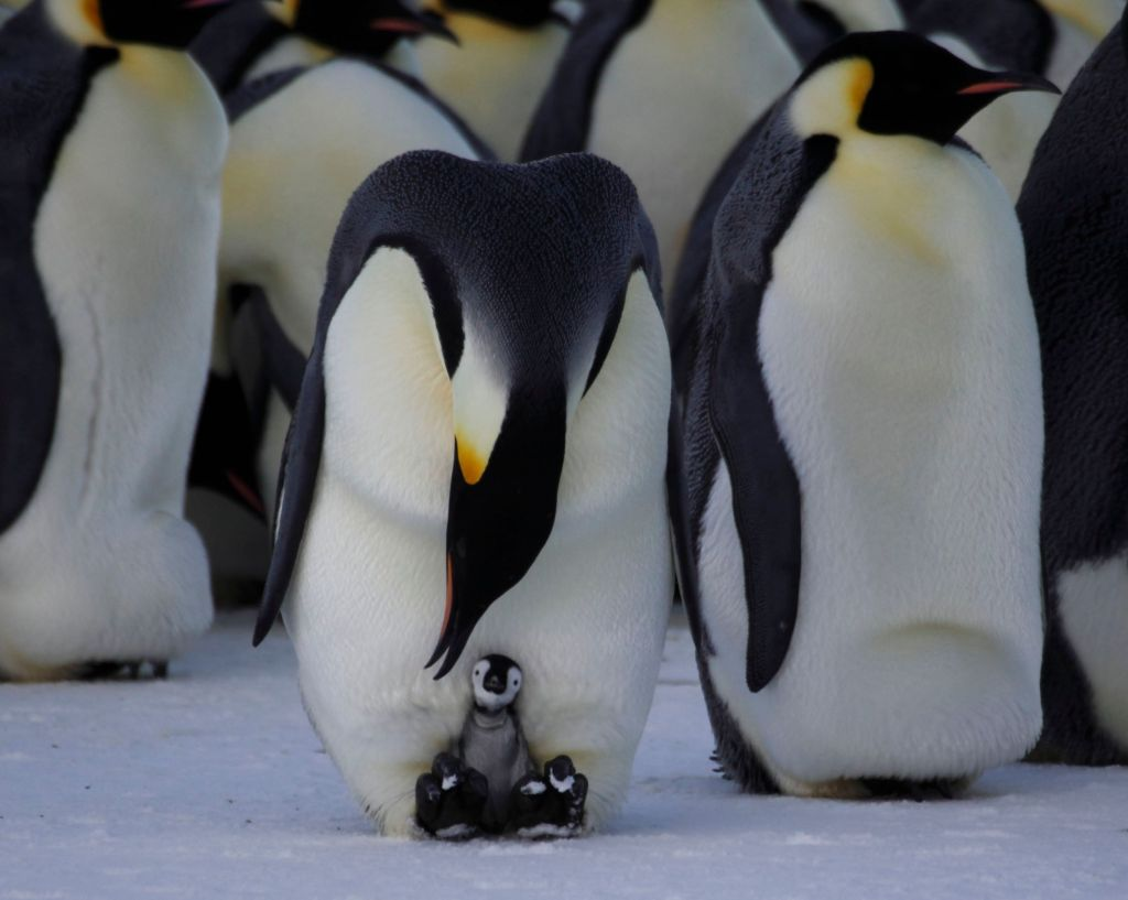 Pin Baby Penguins Hatching on Pinterest