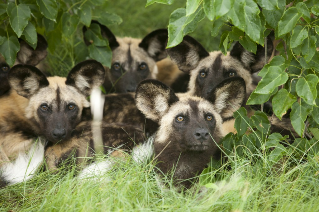 african wild dogs, father's day