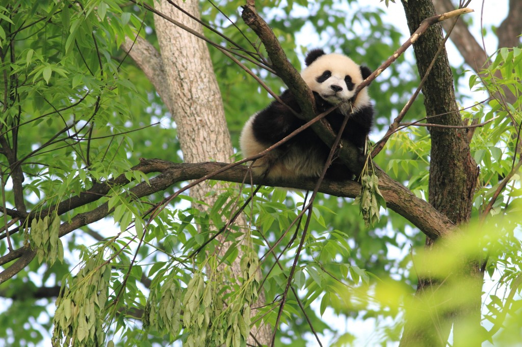 baby panda sitting in tree, cute panda resting on branch, green foliage