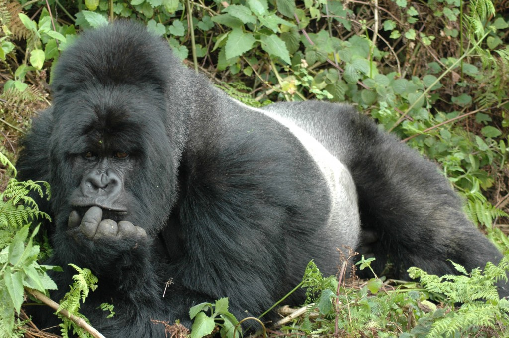 Since the discovery of the mountain gorilla subspecies in 1902, its population has endured years of war, hunting, habitat destruction and disease, their population is estimated to be around 786 today. © Trista Gauge/NHA