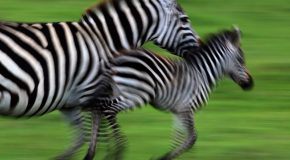 Wildebeests No Longer Hold the Record for Longest Terrestrial Migration: Zebras Take Over the Title