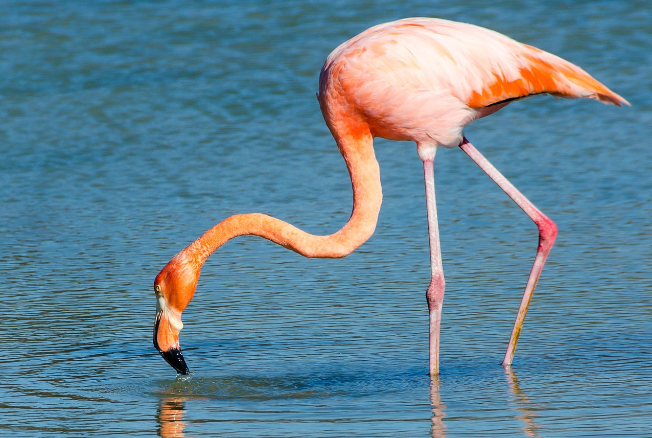 Image of: Pet 4 Greater Flamingo Good Nature Travel Natural Habitat Adventures The Best Dads Of The Animal Kingdom