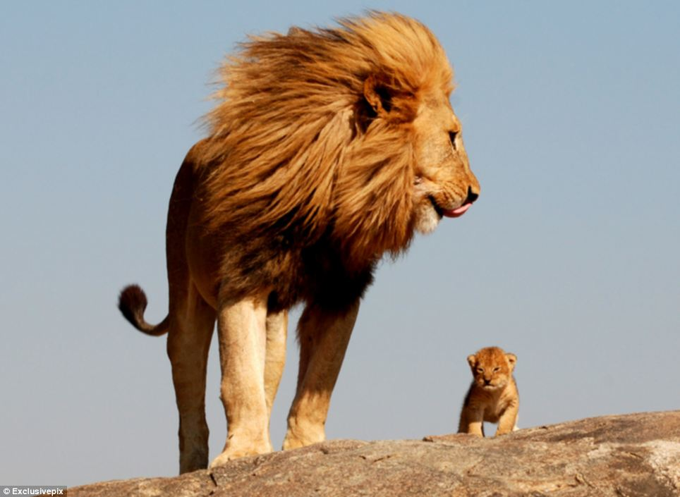 lion father and cub