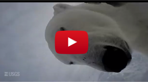 Video of the Week: Arctic Footage Filmed by a Polar Bear!