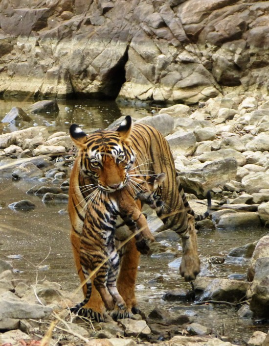Mama tigress carrying infant cub directly in front of guests on Nat Hab's India wildlife photo safari