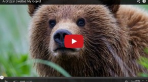 Video of the Week: A Grizzly Cub Swatted My GoPro!