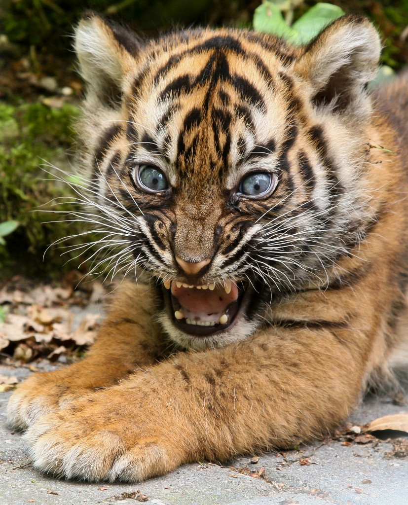 International Tiger Day, hilarious tiger cub, mewing, smiling, cheese, baby animals