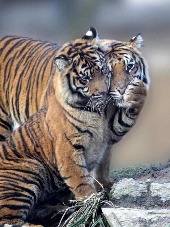 International Tiger Day, tigers in love, tigers playing, love, animal love