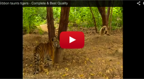 Video of the Week: Gibbon Plays with Young Tigers