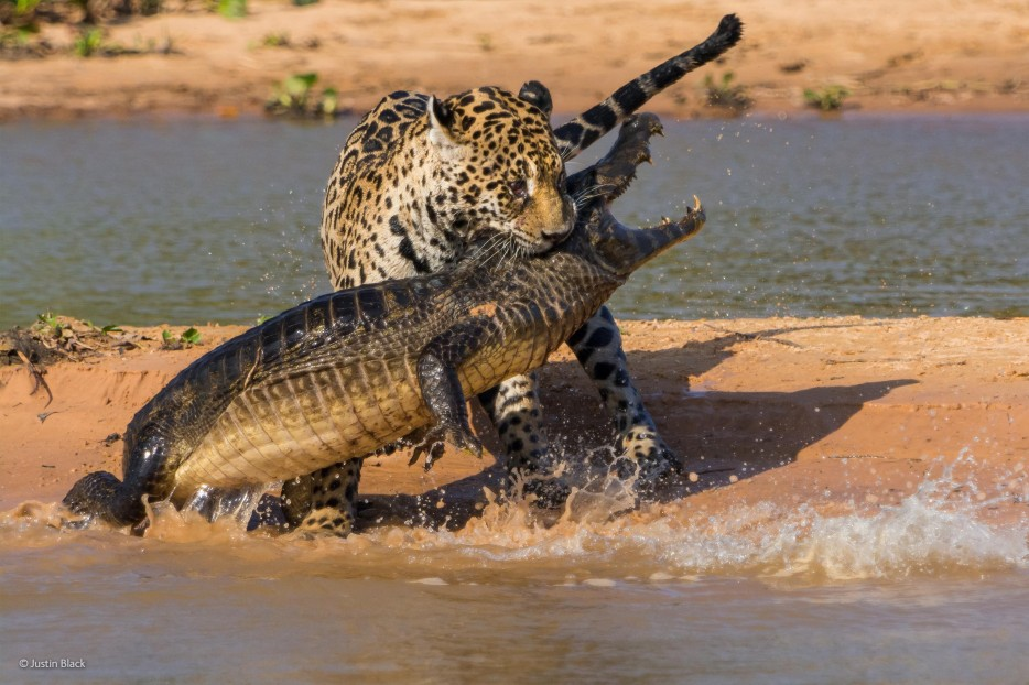 leopards, crocodiles, struggle for life, Wildlife Photographer of the Year 2014, circle of life, Africa