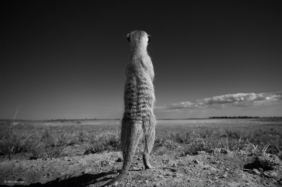 Meerkats wildlife photographer of the year 2014 sentry duty africa openness