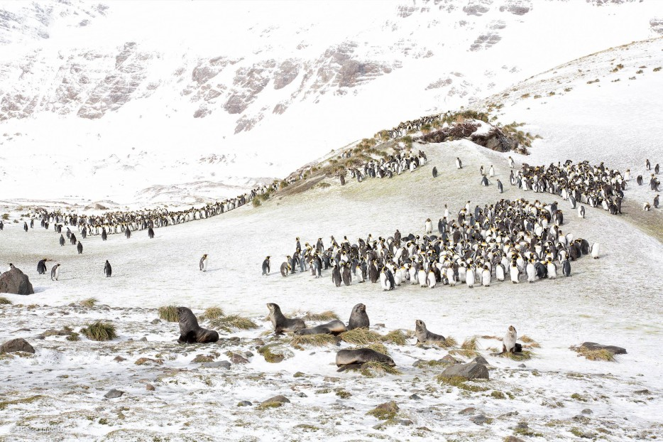 king penguins, fur seals, Wildlife Photographer of the Year 2014, Antarctica, white out, rocky landscape
