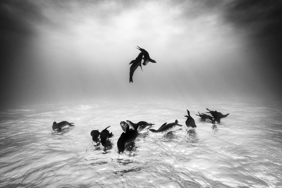 sea lions, Wildlife Photographer of the Year, sea lions at play, interesting angle, dancing
