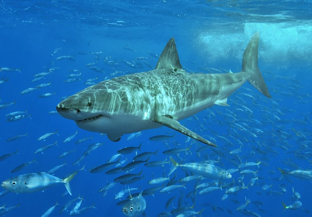Photo by Terry Goss, copyright 2006. Taken at Isla Guadalupe, Mexico, August 2006. great white shark swimming with school of fish in blue waters