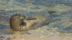 The Hawaiian Monk Seal: Living on the Brink