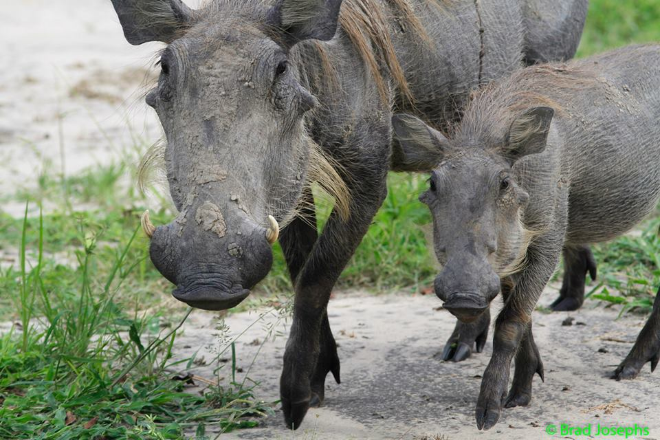 Green Season Warthogs