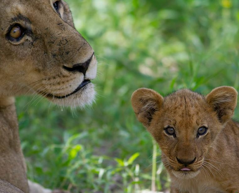 lion mother and lion cub, Okavango Delta, Botswana, Green Season