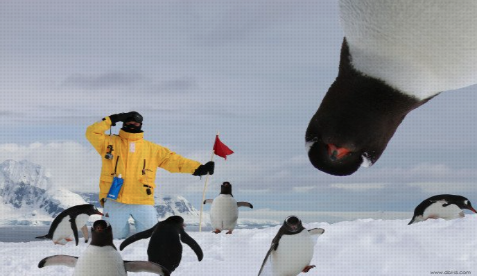 penguin upside down looking at camera in Antarctica, guest wearing a yellow coat holding a red flag
