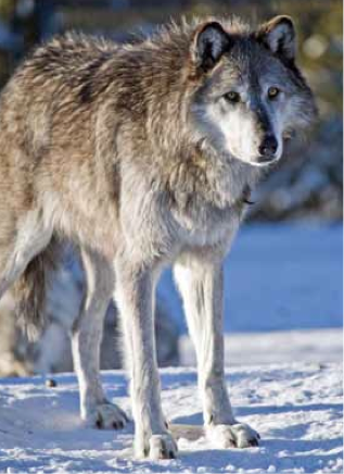 a lone grey wolf captured in the yellowstone winter peering into the wild with baleful eyes
