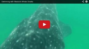 Video of the Week: The Magic of Swimming with Whale Sharks