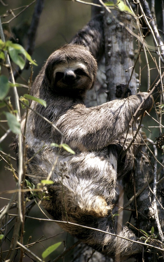 Brown-throated sloth. © Michel Gunther/WWF-Canon