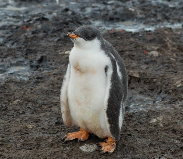 pouty Gentoo penguin with his adorable fluffy white and grey coat and webbed orange feet