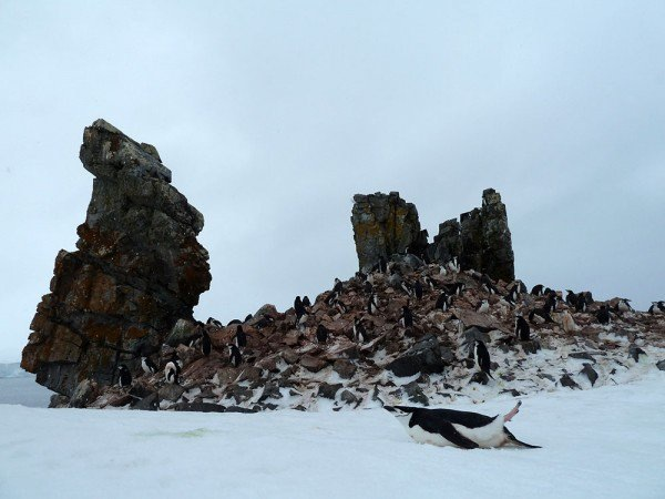 a chinstrap penguin slides along the white snow as rocks twist towards the sky filled with more penguins