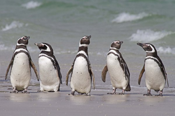 group of five megellanic penguins stand on the sands in a line near the clear ocean