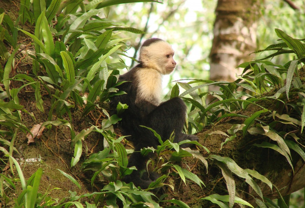 White-headed capuchin. Photo (c) Luis German Naranjo/WWF-Colombia