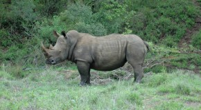 Rhinos Without Borders Attempts Massive Rhino Relocation