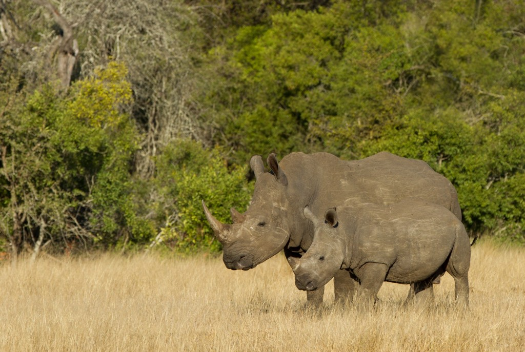 WWF works to protect rhinos in Kruger National Park. Photo by Gavin Lautenbach.
