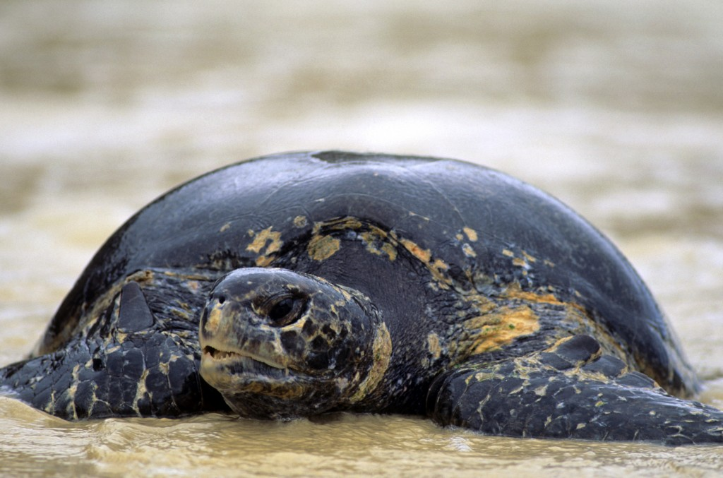 Green turtle © WWF-US/Steve Morello